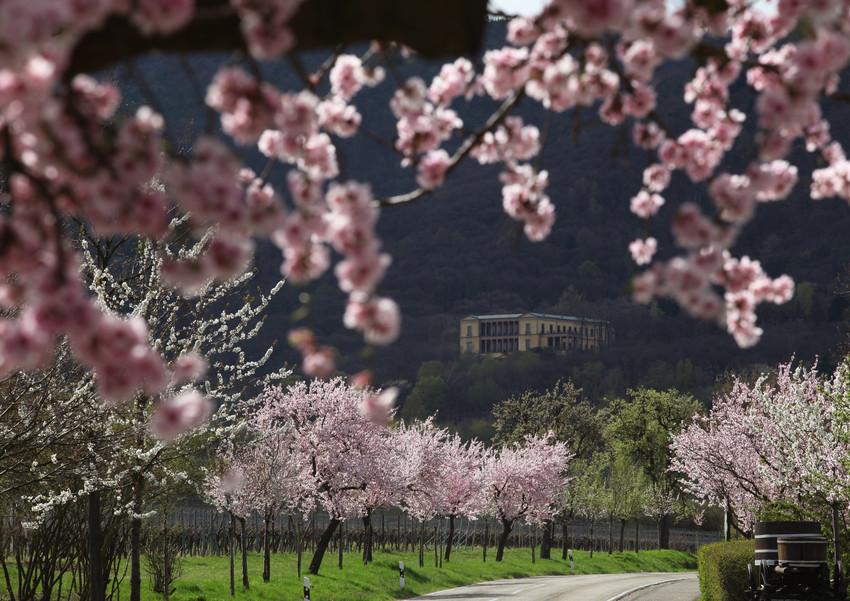 Do you know the land where the almond trees bloom?